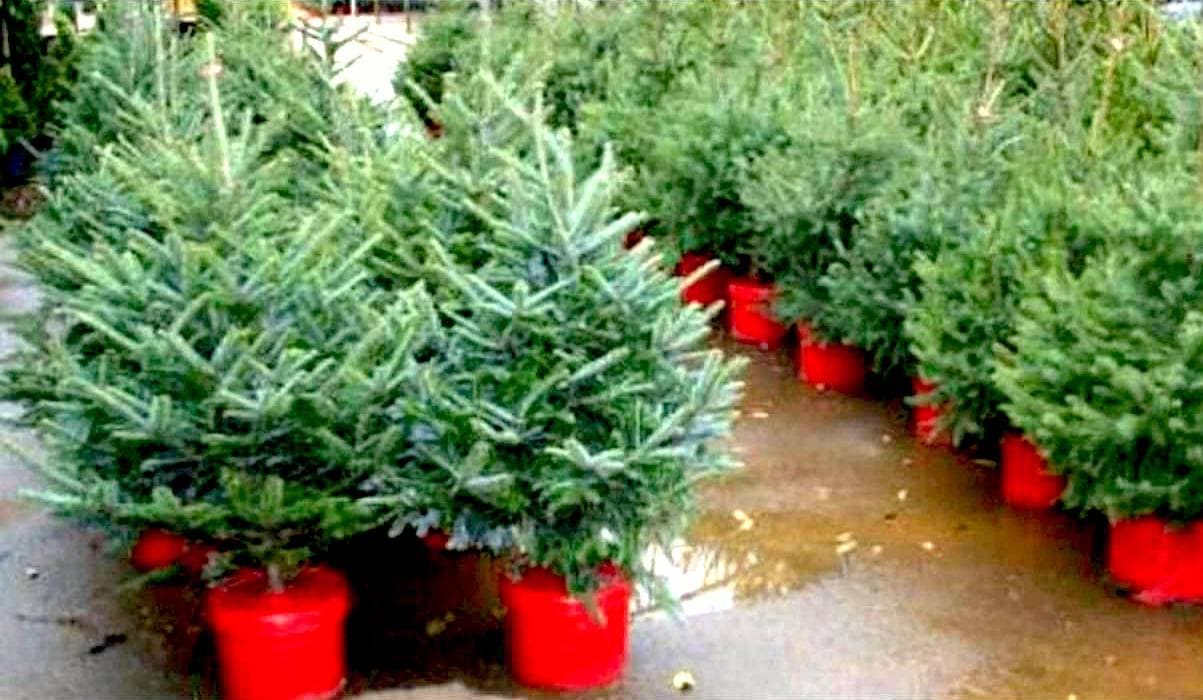recycling center accepting live christmas trees buy now