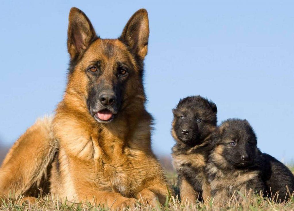 German Shepherd Open Day - Puppies for Sale