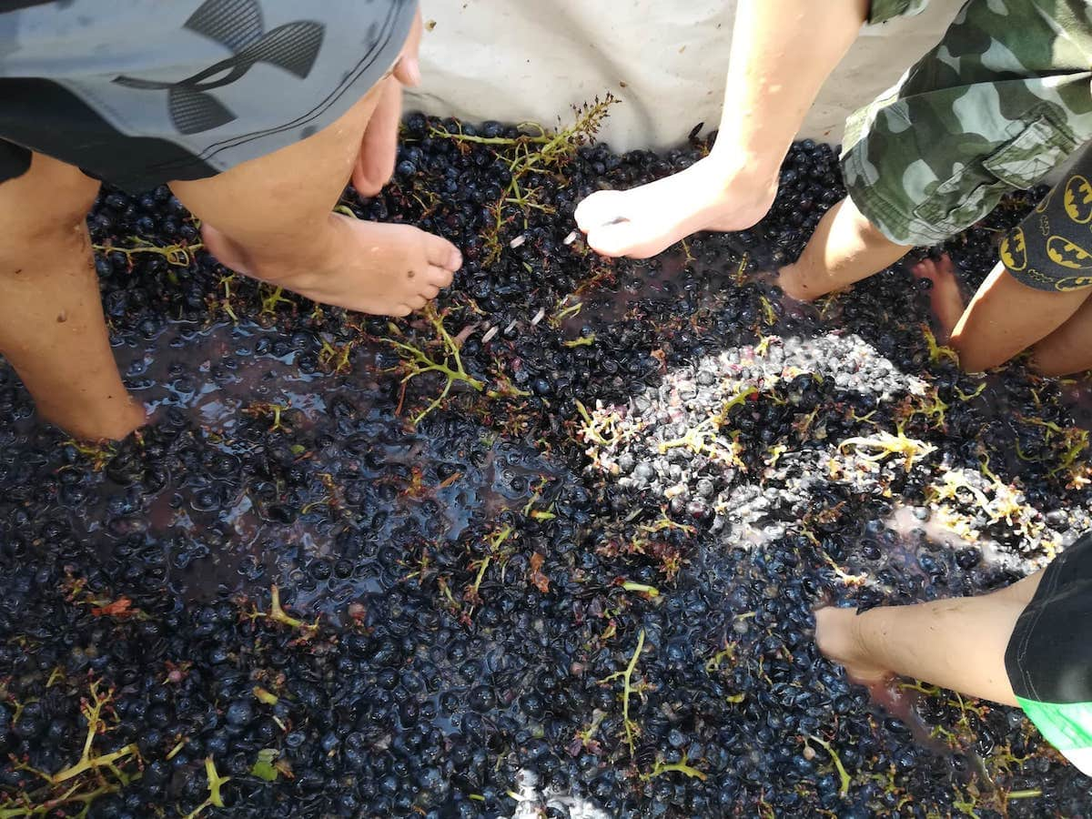Grape harvest, grape stomping and dinner - Italy by US