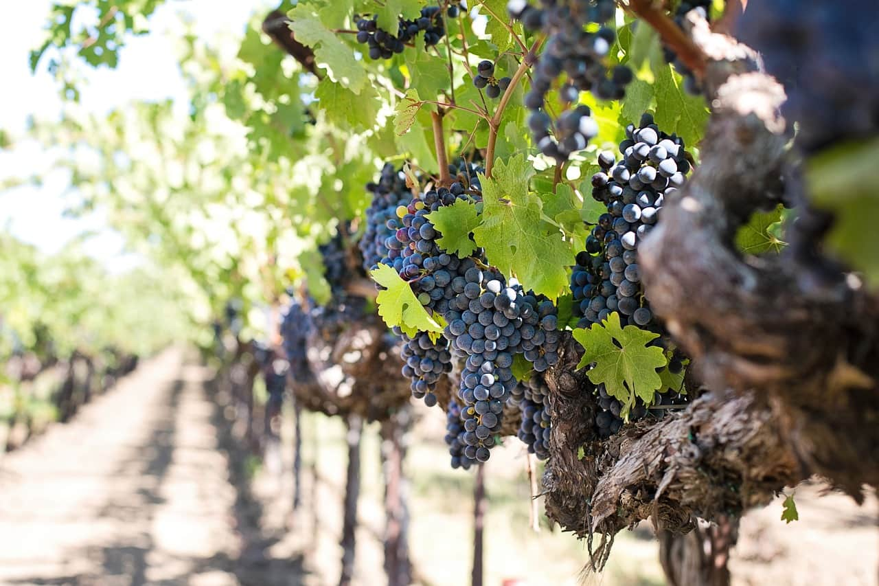 Grape Harvest Wine Experience at San Valentino Winery – Berici Hills
