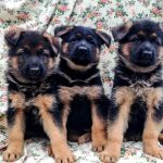 German Shepherd Black Friday – Puppies for sale with a special gift